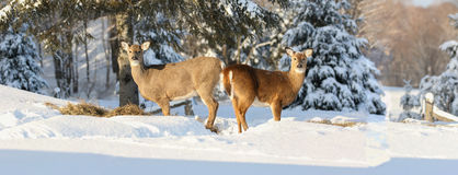 Two  deers Royalty Free Stock Images