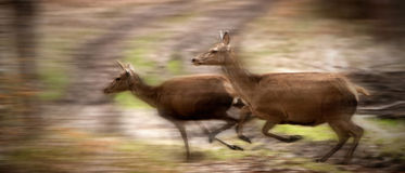 Two deers running. In the forest Stock Photography