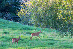 Two Deers in rut Royalty Free Stock Photography