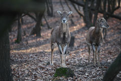 Two deers Royalty Free Stock Photos