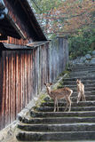 Two deers are standing on a staircase in Miyajima (Japan) Royalty Free Stock Photo
