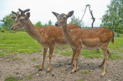 Two deers Stock Image