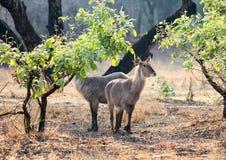 Two Defassa Waterbucks standing in the bush. Kobus ellipsiprymnus - common defassa waterbuck, standing in the bush in South Luangwa national Park, zambia stock photos
