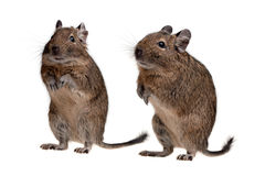 Two degu Stock Photography