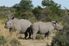 Two Dehorned White or Square-lipped Rhino's Stock Photography