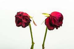 Two dehydrated roses that are turning from one another Royalty Free Stock Photo
