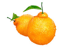 Two Dekopon oranges covered with Raindrops. Foods and Dishes Ser Stock Photo