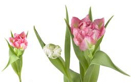 Two delicate colored parrot tulips. Isolated on white background, studio shot Royalty Free Stock Images