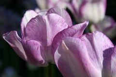 Two Delicate Lavender Tulips up close Stock Photo
