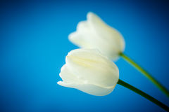 Two delicate white tulip Stock Images