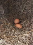 Two brown chicken eggs lie in the nest of a chicken on the farm. Two delicious brown chicken eggs lie in the nest of a chicken on the farm royalty free stock image