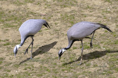 Two demoiselle cranes Stock Photos