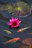 Two dependent movement. There are many water lily, it's actually yan.But most red Royalty Free Stock Images