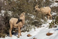 Two desert big horned sheep ewes stand on a snowy mountain face among scrub oak bushes in Zion national park Utah royalty free stock photo