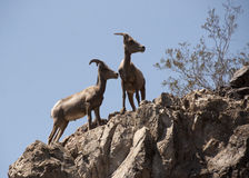 Two Desert Bighorn Sheep. Standing on top of a rock Stock Images