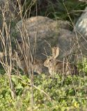 Two Desert Cottontail Rabbits Sylvilagus audubonii in the Meadow royalty free stock photos