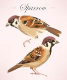 Two detailed sparrows Royalty Free Stock Images