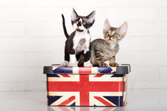 Two devon rex kittens Royalty Free Stock Images