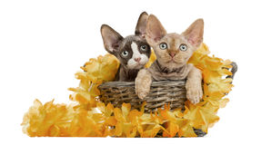 Two Devon rex in a wicker basket isolated on white Stock Photos
