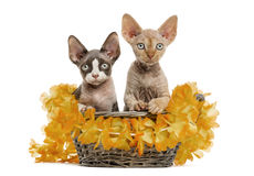 Two Devon rex in a wicker basket isolated on white Royalty Free Stock Photography