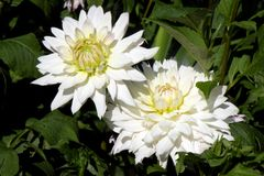 Two Dhalia in a garden Stock Photo