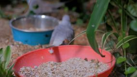 Two diamond doves birds in the cage. Two grey diamond doves birds in the cage - close up view. Exotic animal, love, romantic, mating rituals and wildlife concept stock video