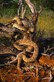 Two Diamondback Rattlers on Log Stock Photos