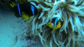Two different Anemone fish stock video footage