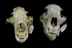 Two different bear skulls Stock Photos