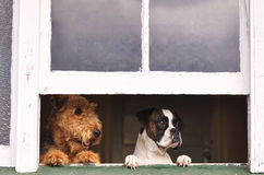 Two different breeds of dogs looking out window Stock Images