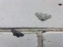 Two different color moths small dusty wave sitting on brick wall and illustrating a natural selection principle. Photo stock images