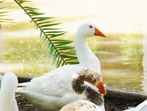 Two different color´s ducks resting in sunlight. Ducks living their life near to a lake Stock Photography