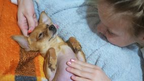 Two different dogs are very funny to dry up after a shower. Long-haired and short-haired Toy Terrier. They`re like. Little kids. They are stroked over their stock video