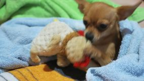 Two different dogs are very funny to dry up after a shower. Long-haired and short-haired Toy Terrier. They`re like. Little kids. Brown Toy Terrier decided to stock video