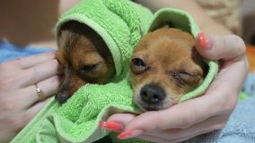 Two different dogs are very funny to dry up after a shower. Long-haired and short-haired Toy Terrier. They`re like. Little kids. They are stroked over their stock video footage