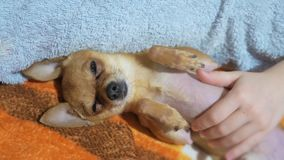 Two different dogs are very funny to dry up after a shower. Long-haired and short-haired Toy Terrier. They`re like. Little kids. They are stroked over their stock footage