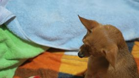 Two different dogs are very funny to dry up after a shower. Long-haired and short-haired Toy Terrier. They`re like. Little kids. Brown Toy Terrier decided to stock video footage