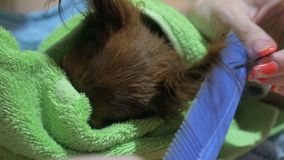 Two different dogs are very funny to dry up after a shower. Long-haired and short-haired Toy Terrier. They`re like. Little kids. Dark Brown That Toy Terrier stock video footage