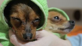 Two different dogs are very funny to dry up after a shower. Long-haired and short-haired Toy Terrier. They`re like. Little kids. Sometimes they shake stock footage