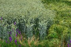 Two different fields of wheat, turbulent wind. Dominating green field of wheat.Sharpness Stock Image