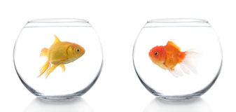 Two different goldfish Royalty Free Stock Photo