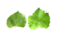 Two Different Leaves Royalty Free Stock Photography