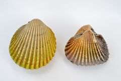 Cockles. Two different sizes of cockle on white background stock images
