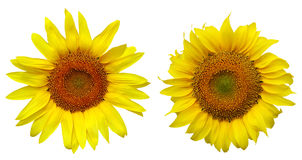 Two different sunflower. Over white background Royalty Free Stock Photography
