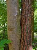 Two different trees joined together Royalty Free Stock Photo