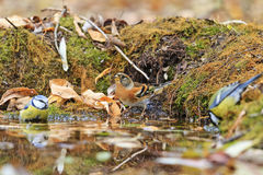 Two different types of birds in the autumn watering Royalty Free Stock Photos