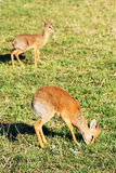 Two Dik-dik antelopes Stock Photography