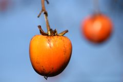 Two Diospyros kaki hanging on the branch Royalty Free Stock Images