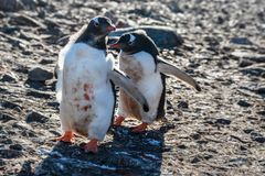 Two dirty gentoo penguins chicks playing on the rocks, South She stock image