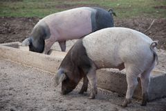 Two dirty pigs eating at the trough. Two outdoor dirty pigs eating at the trough Stock Image